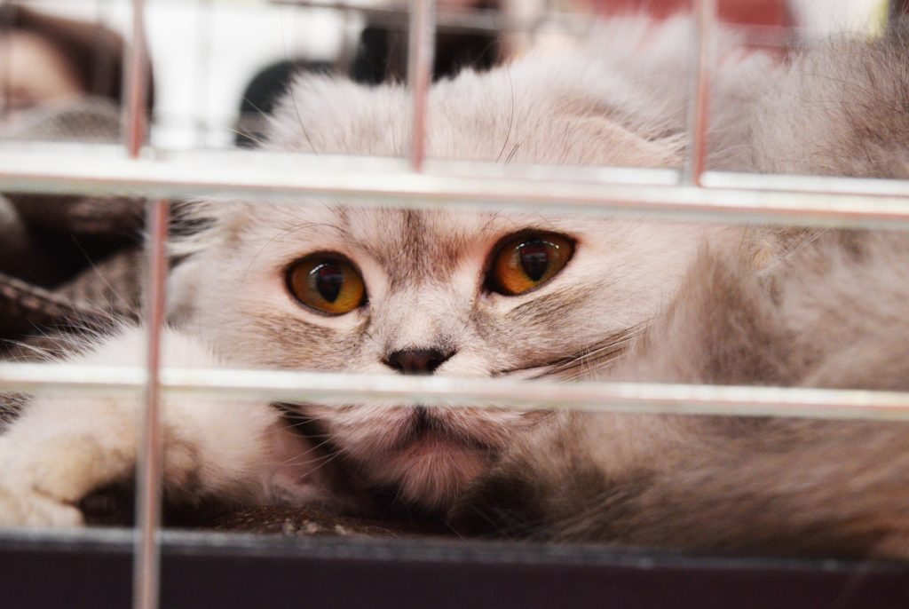 White long-haired cat behind cat carrier grill