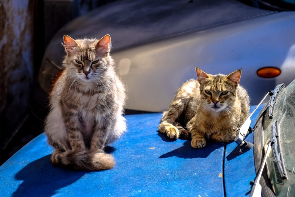 cats hate car rides and these two strays are sitting on a blue hood