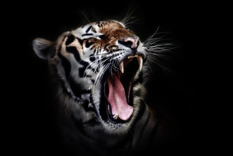 Tiger with mouth open showing teeth