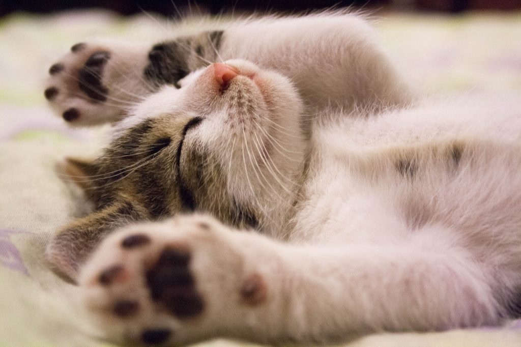 brown and white kitten lying on its back with its paws in the air