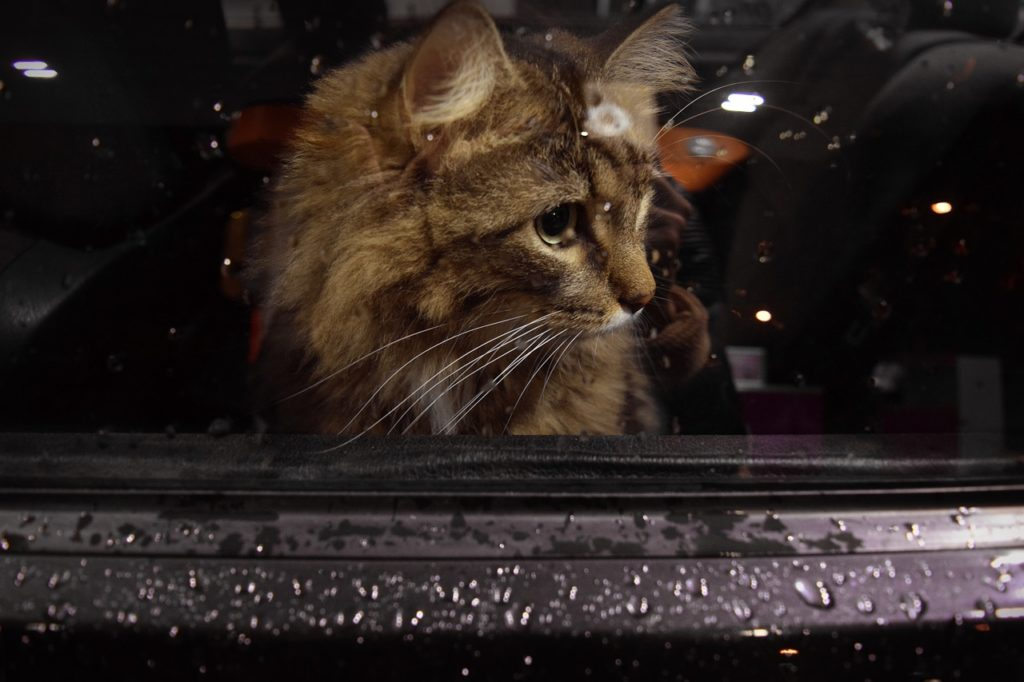 Cat traveling in a car looking out of a wet window