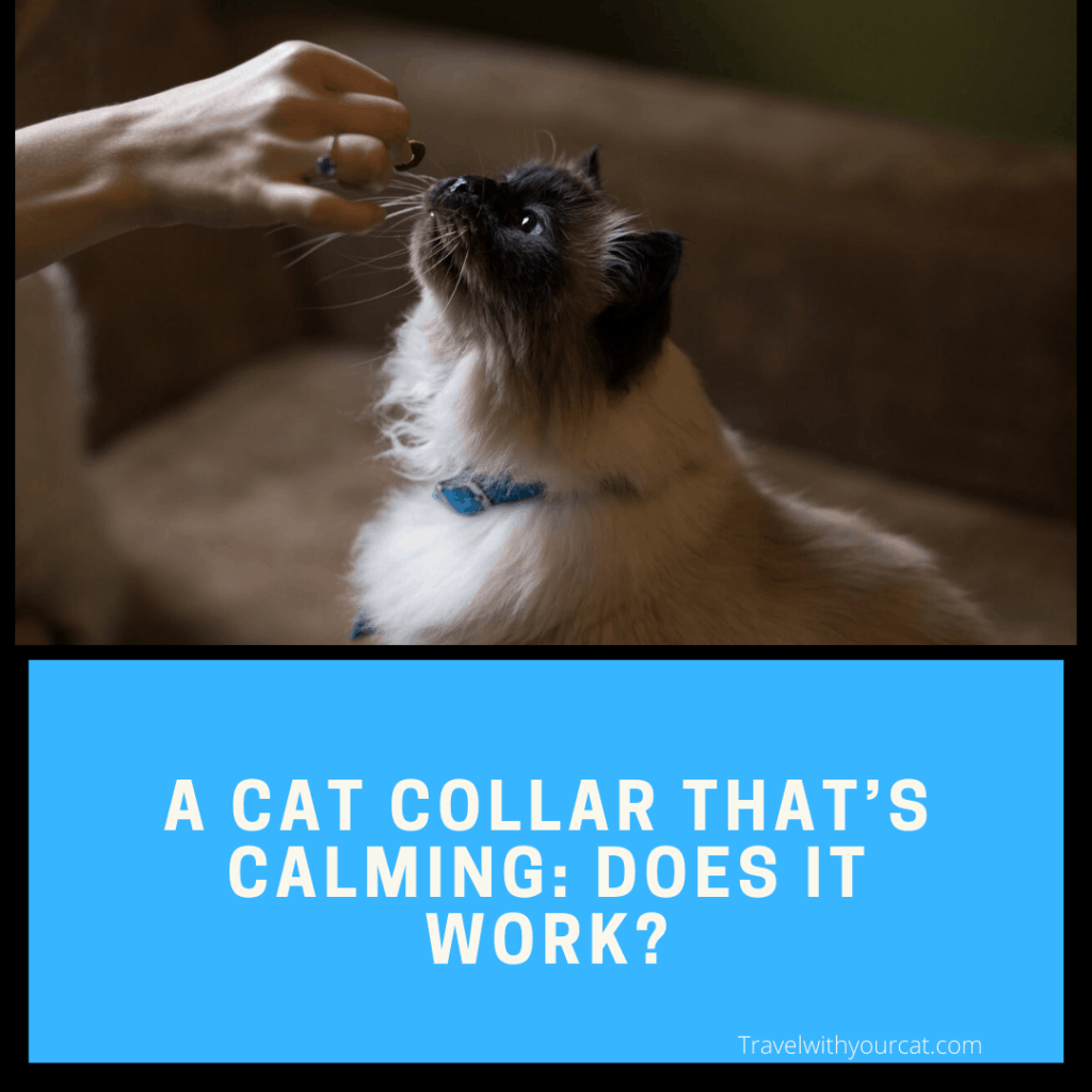Himalayan cat in a blue collar about to receive a treat