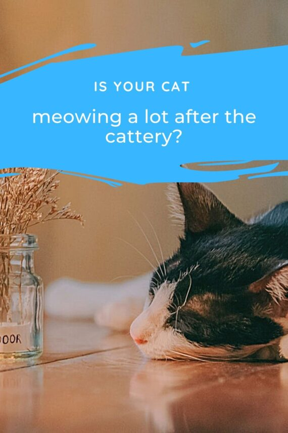 Is Your Cat Meowing a lot After the Cattery?
