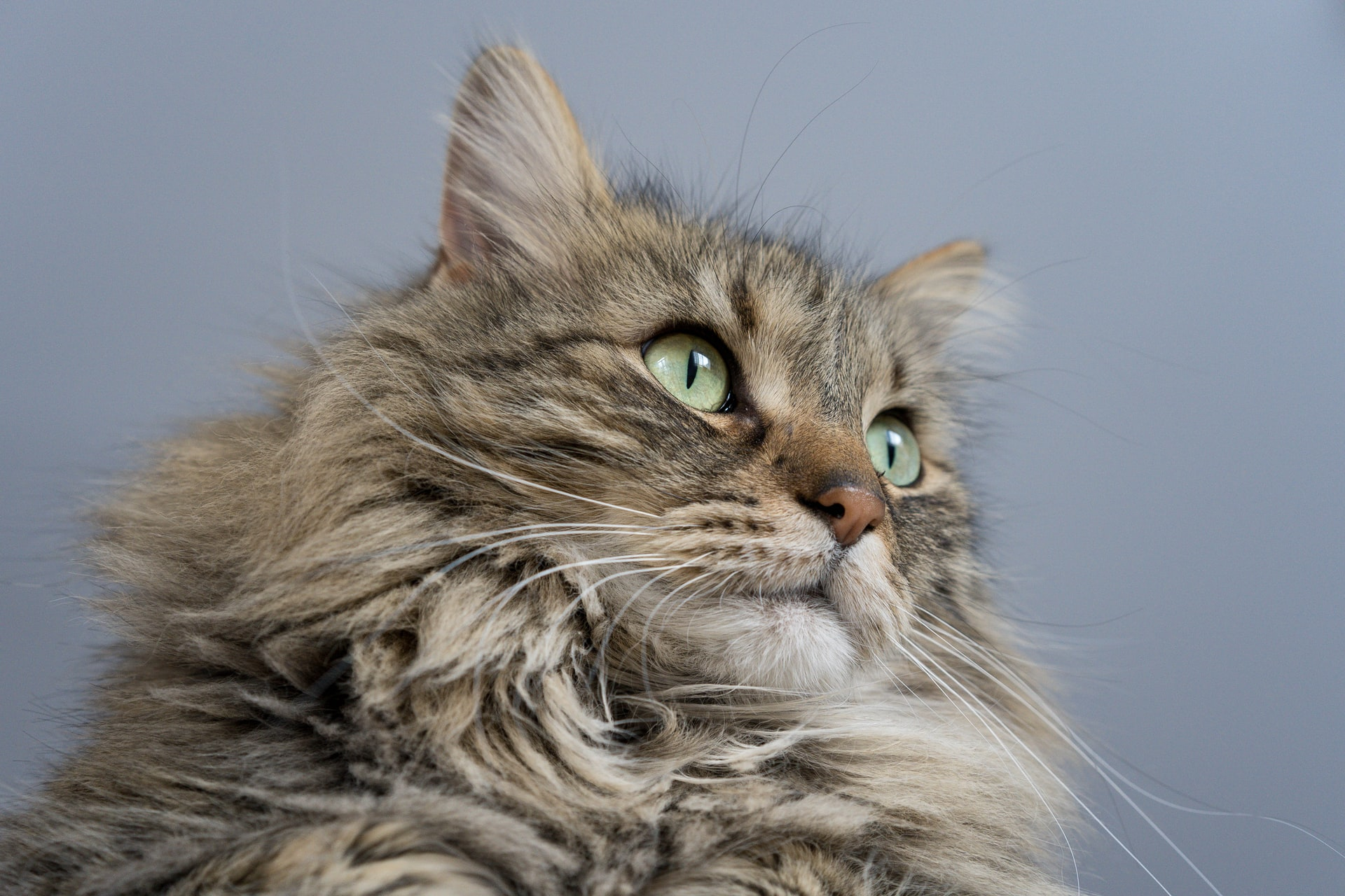 What's the Best Cat Carrier for Maine Coons? - Travel With ...
