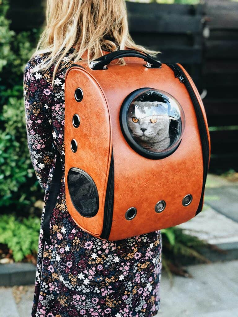 Gray cat sitting in a cat backpack
