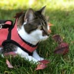 Cat sitting in a harness