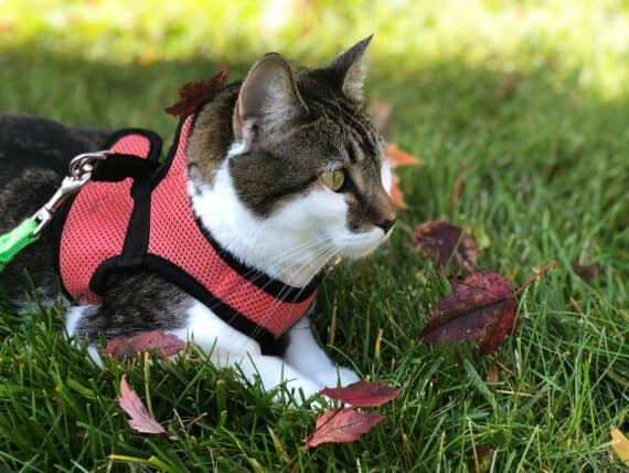 Buying the Best Cat Harness